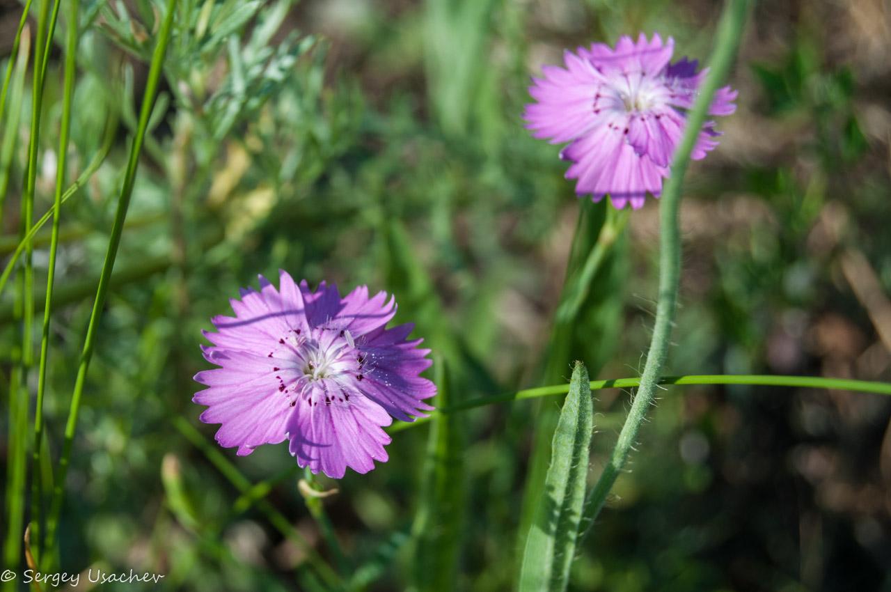 Фото цветы гвоздика дикая