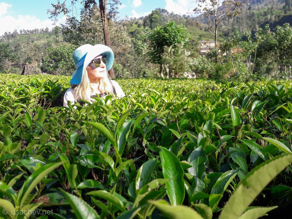 На чайной плантации в округе Нувара-Элия