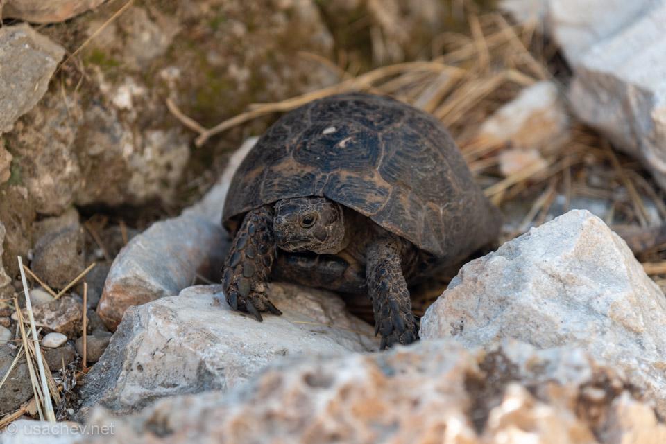 Средиземноморская черепаха - наш частый попутчик